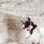 dog running in the river