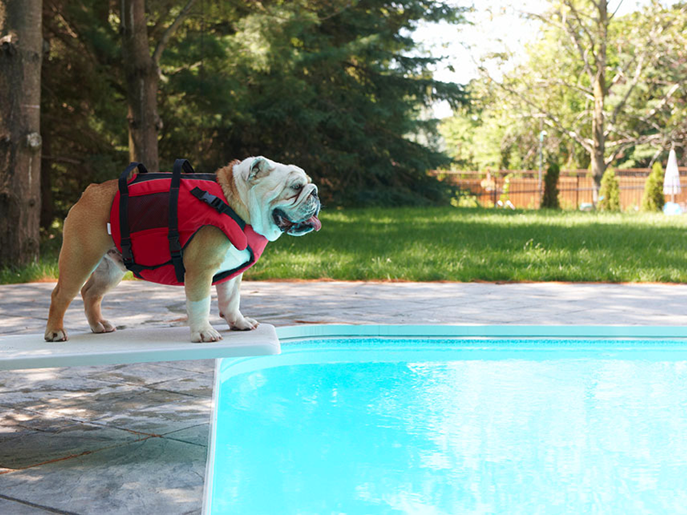 dog in a lifejacket preparing to swim