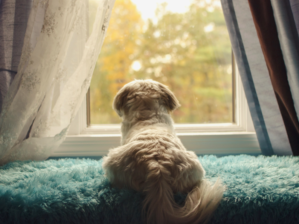 dog looking outside the window