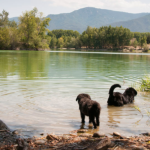 dogs swimming in the lake