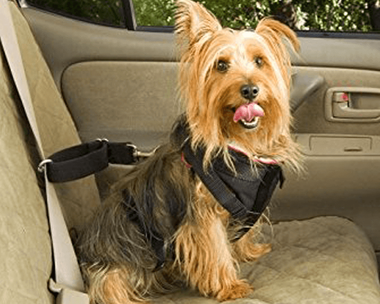 dog wearing a safety harness inside the car