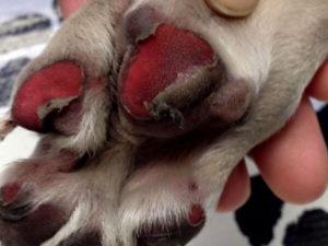 burned dog paw