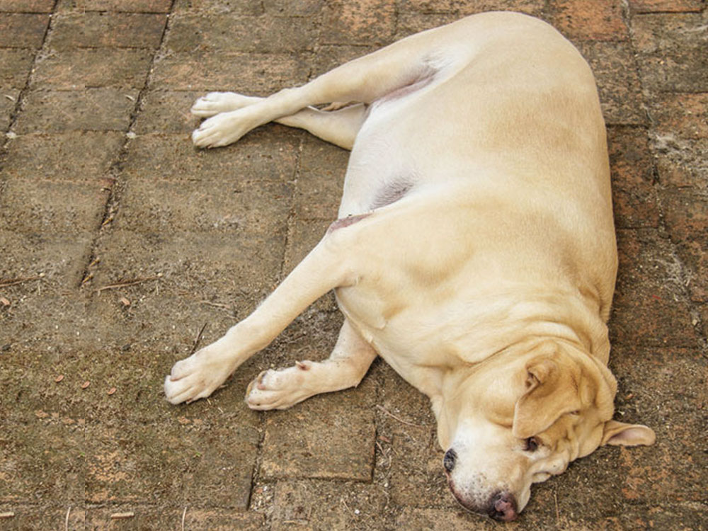 dog with bloated stomach