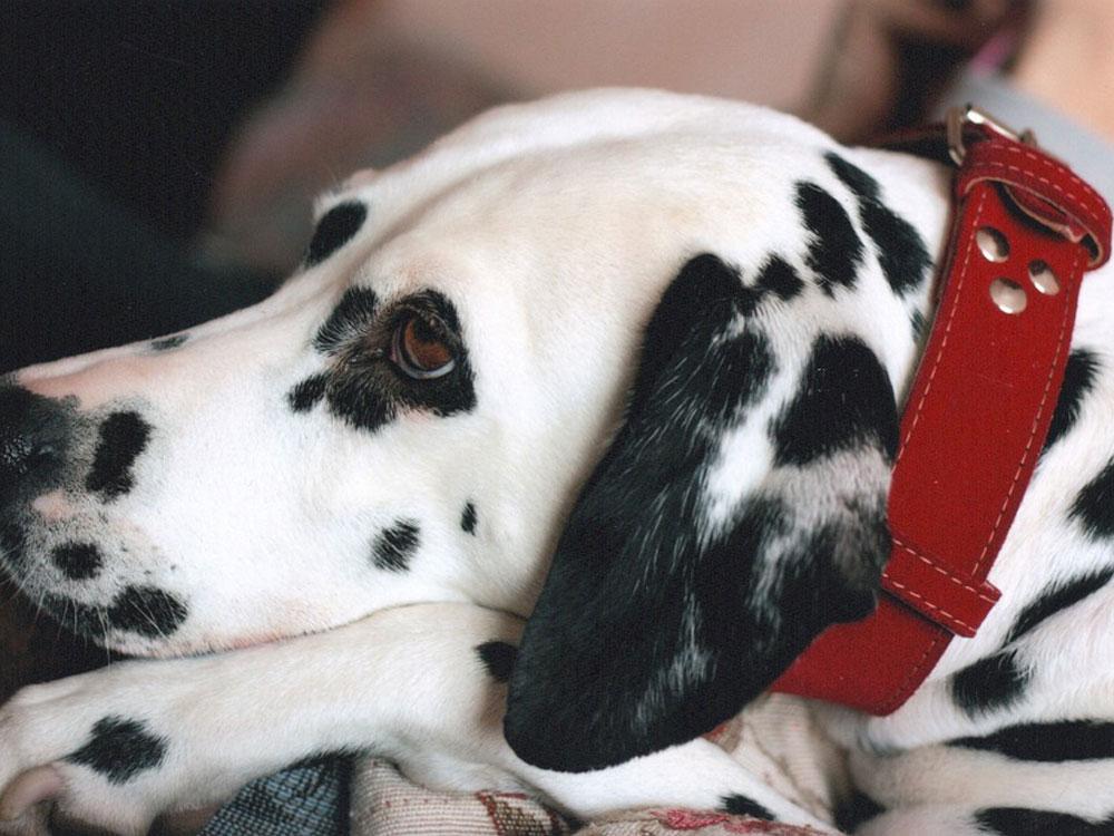 faux dog collar