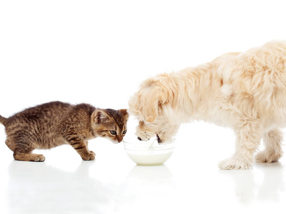 dog and cat sharing a bowl of milk
