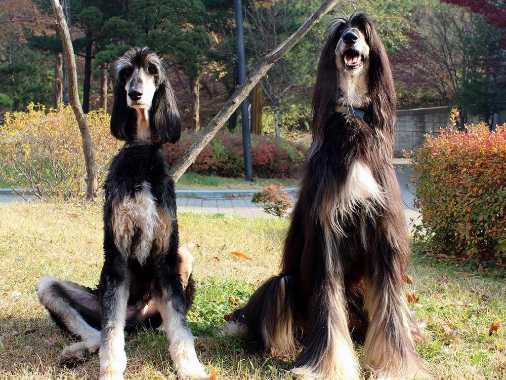 Snuppy, an Afghan Hound cloned dog with its genetic father