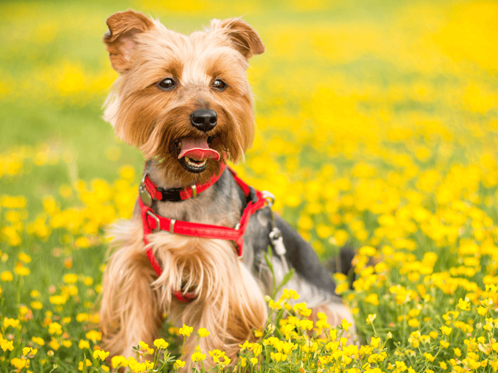 yorkshire-terrier in a flower field wearing dog harness