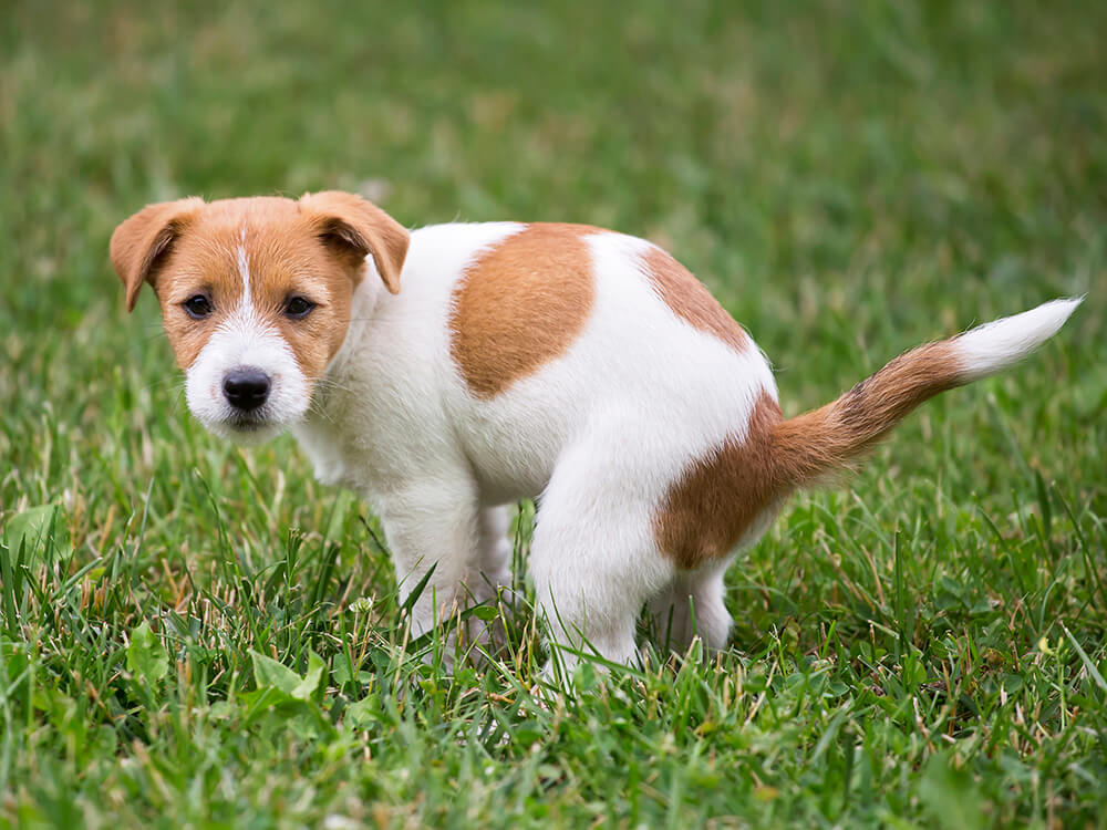 puppy toilet training 3