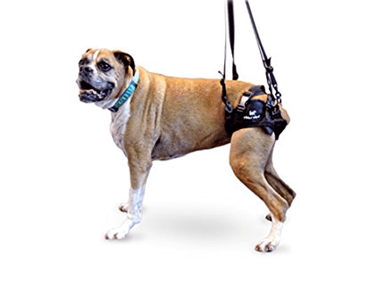 dog wearing a rear lift support harness