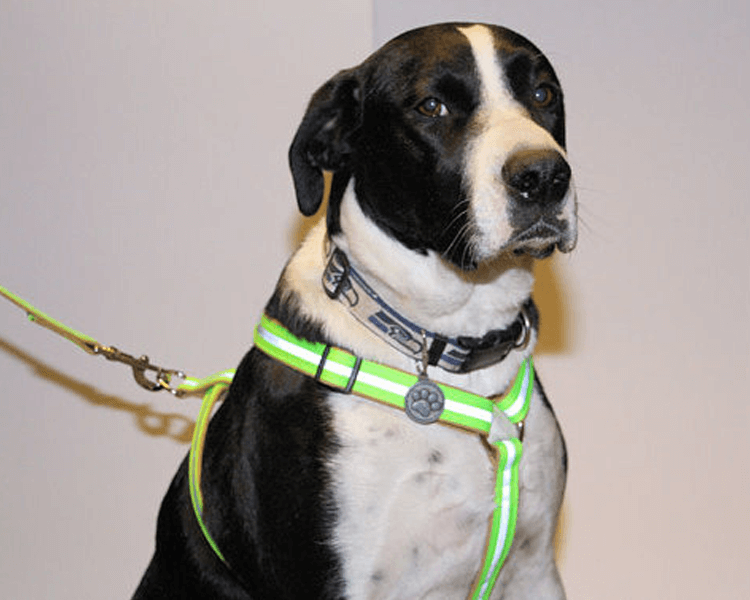 dog wearing a reflective harness