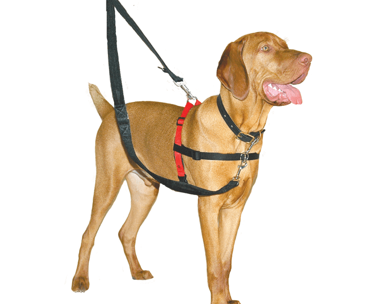 dog wearing a tightening harness