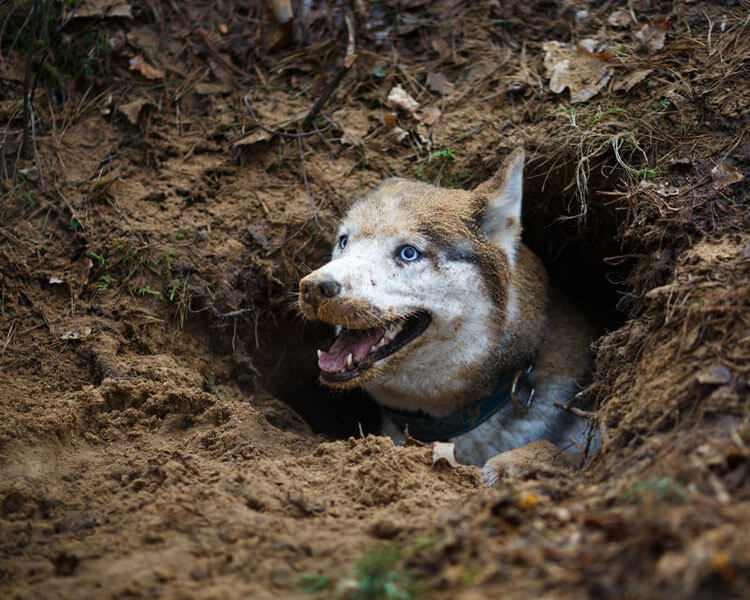 a husky in a digged hole