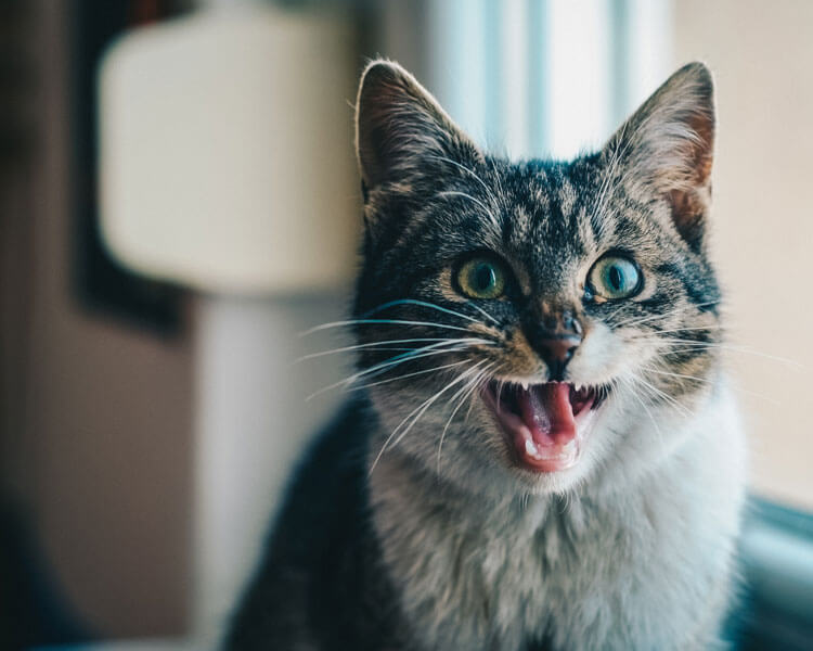 a cat screaming