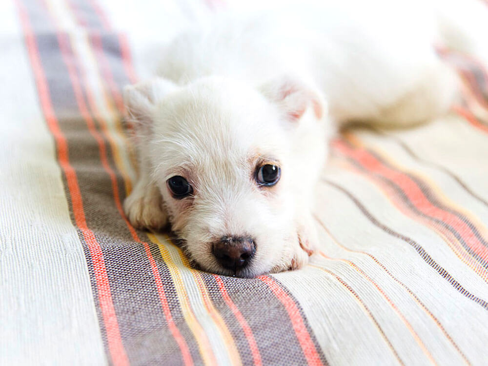 bored puppy lying in bed