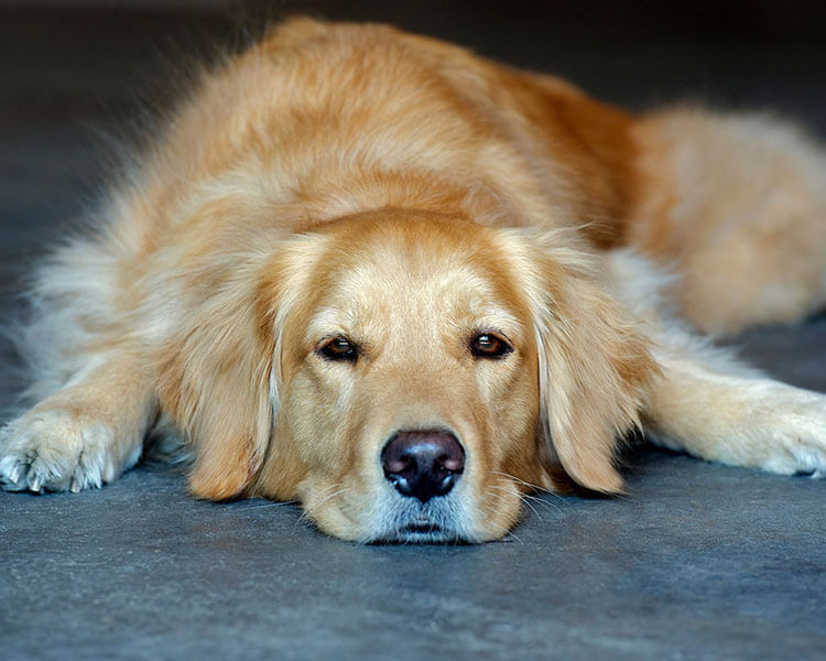 bored retriever dog lying in the ground