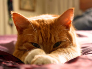 Cat Eye Infections: What to Do When Your Cat Has One?