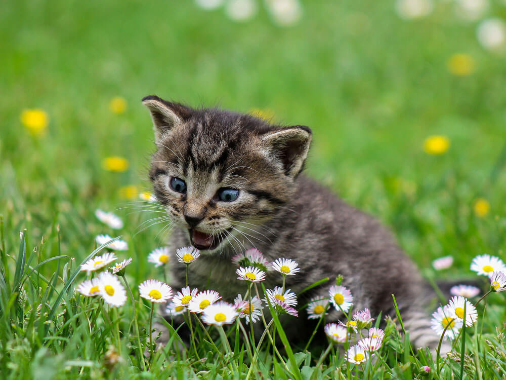 cat meows the tiny flowers in the grass