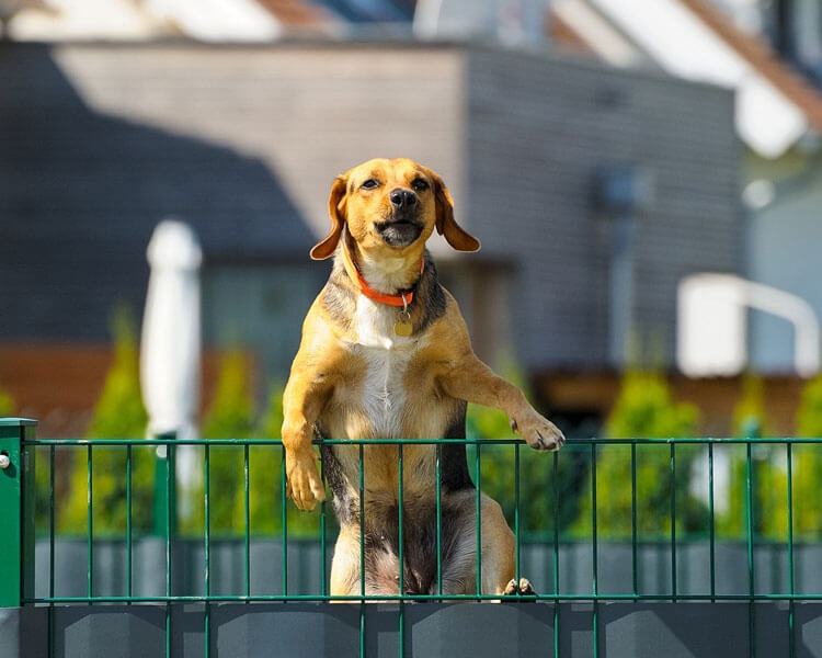 dog attempting to escape in the fence
