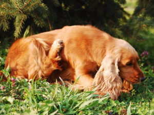 How Do You Know If Your Pet Has Dog Fleas?
