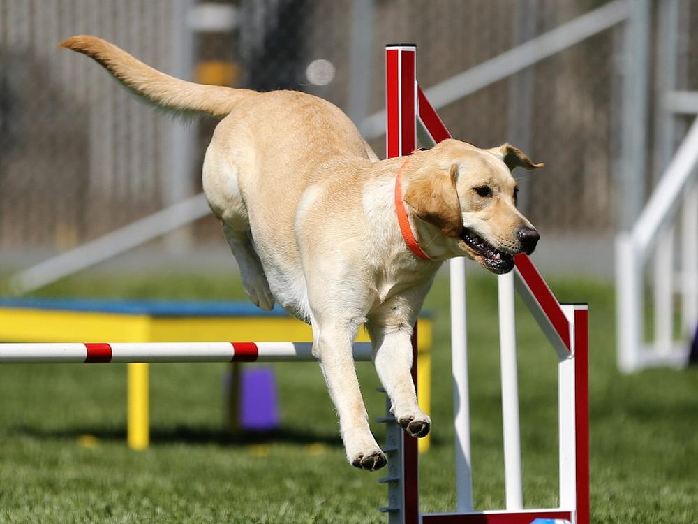 Labrador Retriever Is UKs Most Popular Dog