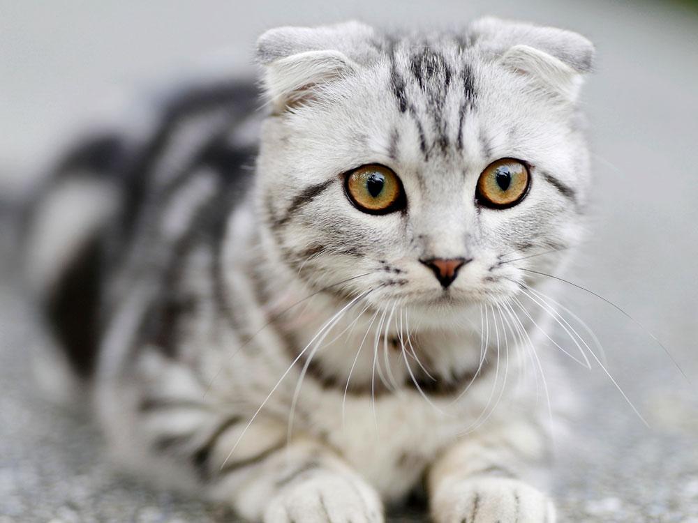 Neutered Cat Humping