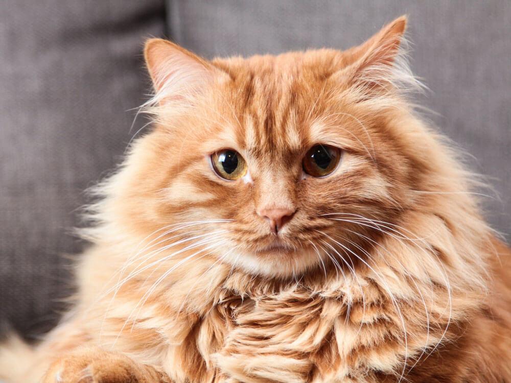 neutered orange cat