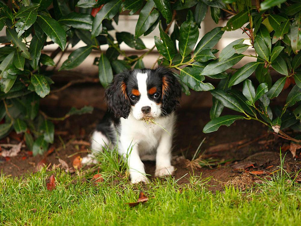 puppy eating grass