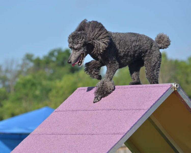 standard poodle in a dog agility test