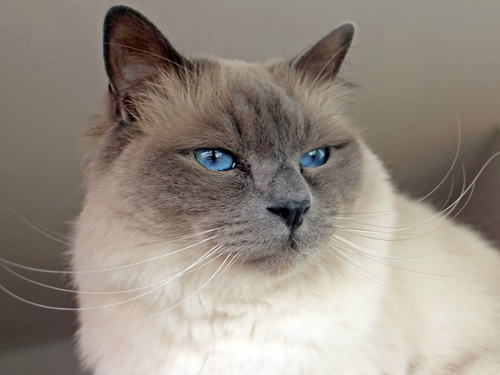 birman one of The 5 Cat Breeds That Love You Best