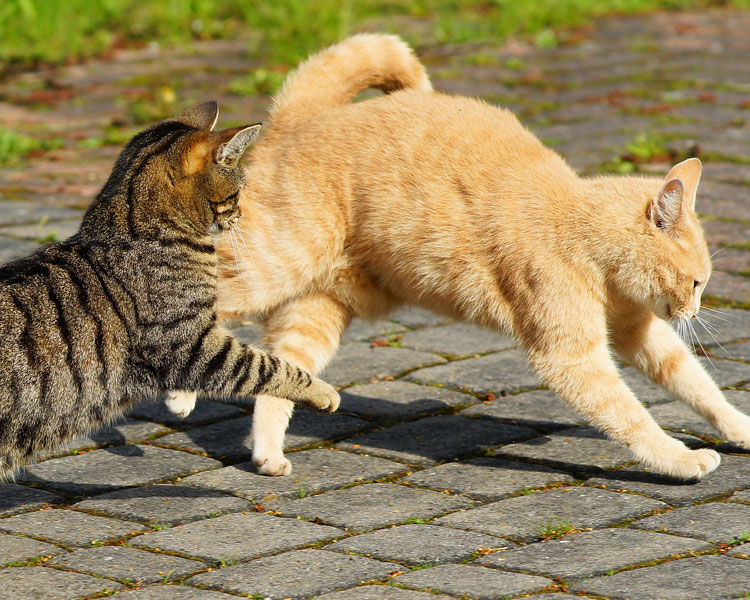 cats having limps due to playing outdoors