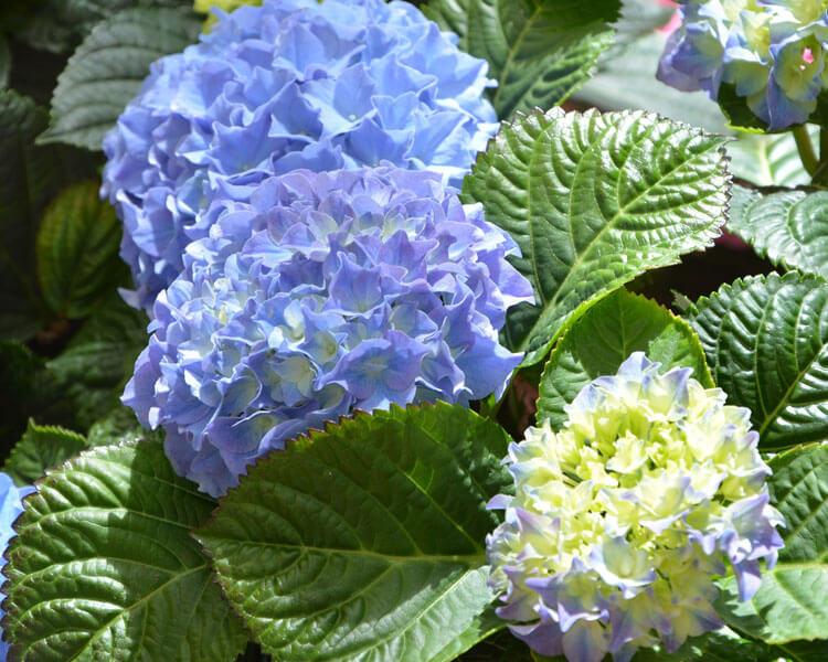 hydrangea, a poisonous flower for pets