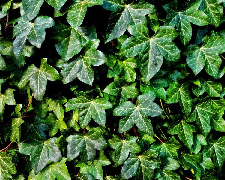ivy, a poisonous plant for pets