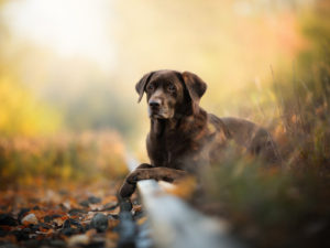 Top of the Pups: Why the Labrador Retriever Is UK's Most Popular Dog