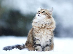 Maine Coon for Sale? Should You Get one?