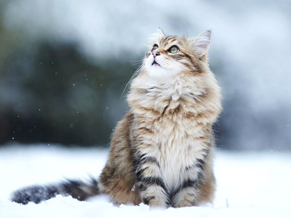 a charming maine coon watching a falling snow