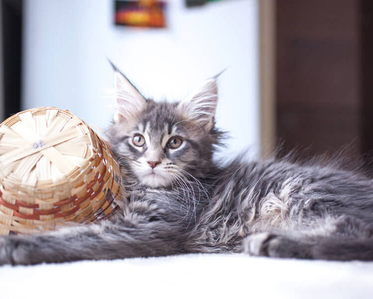 adorable maine coon kitten holding a small basket