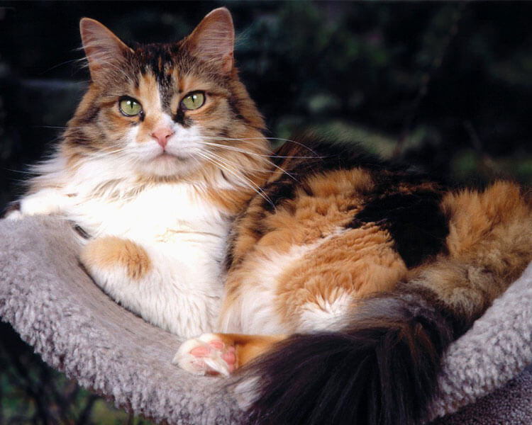 a big maine coon, sitting in a sofa.