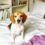 meghan markle dog on bed