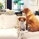 meghan markles dogs sitting on a couch