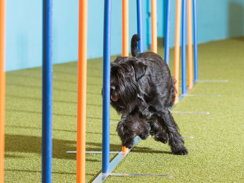 Miniature Schnauzer is one of the top 9 dog breeds that are easily trained