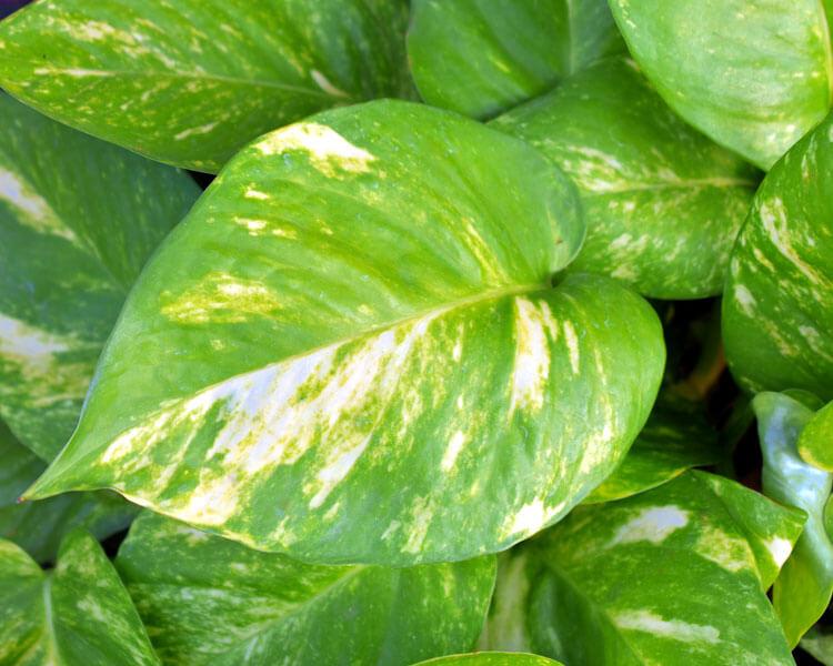 pothos, a poisonous plant for pets