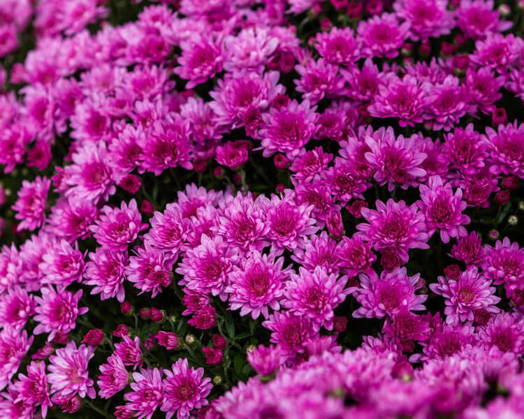 mums, a poisonous flower for pets