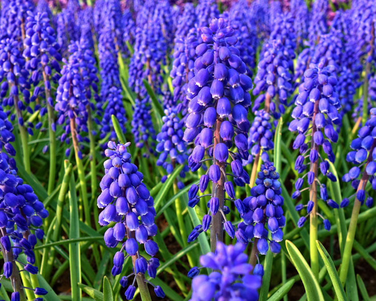 hyacinth, a poisonous flower for pets