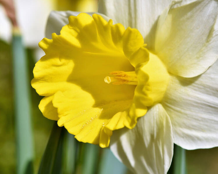 daffodil, a poisonous flower for pets