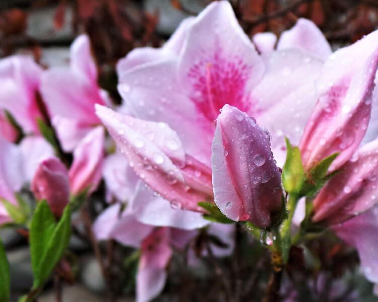 azalea, a poisonous flower for pets