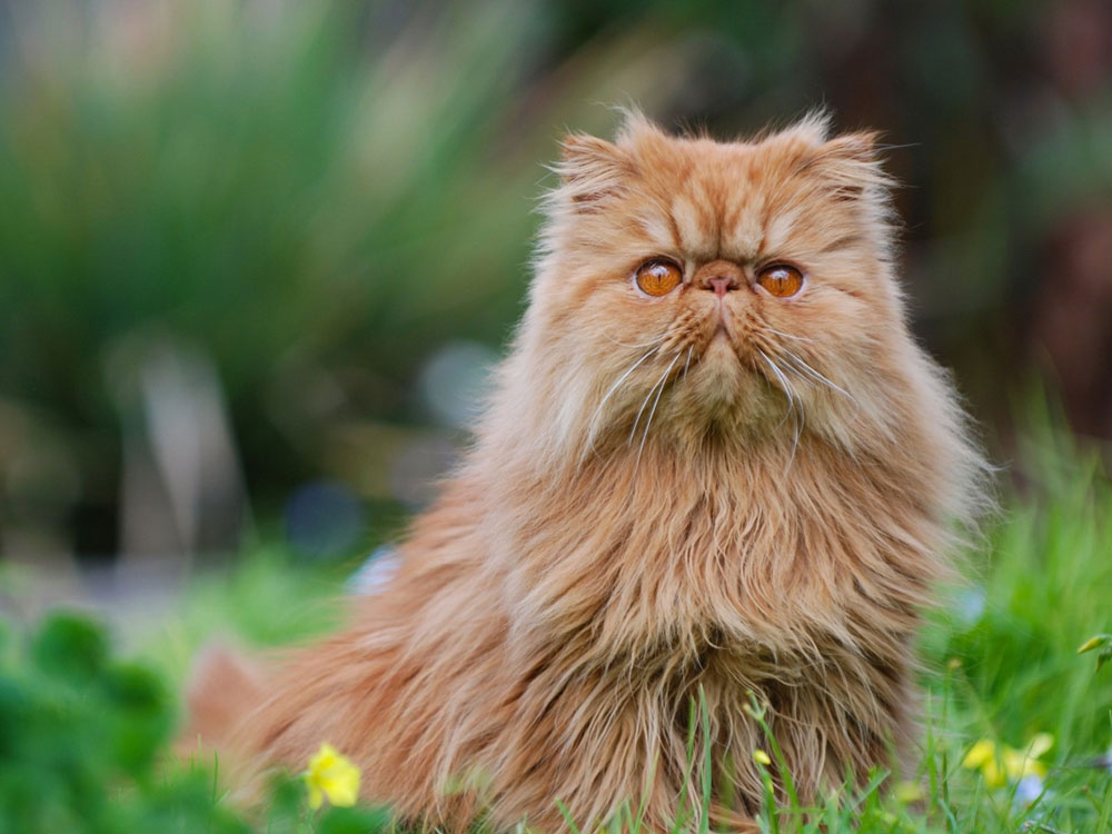 persian one of The 5 Cat Breeds That Love You Best