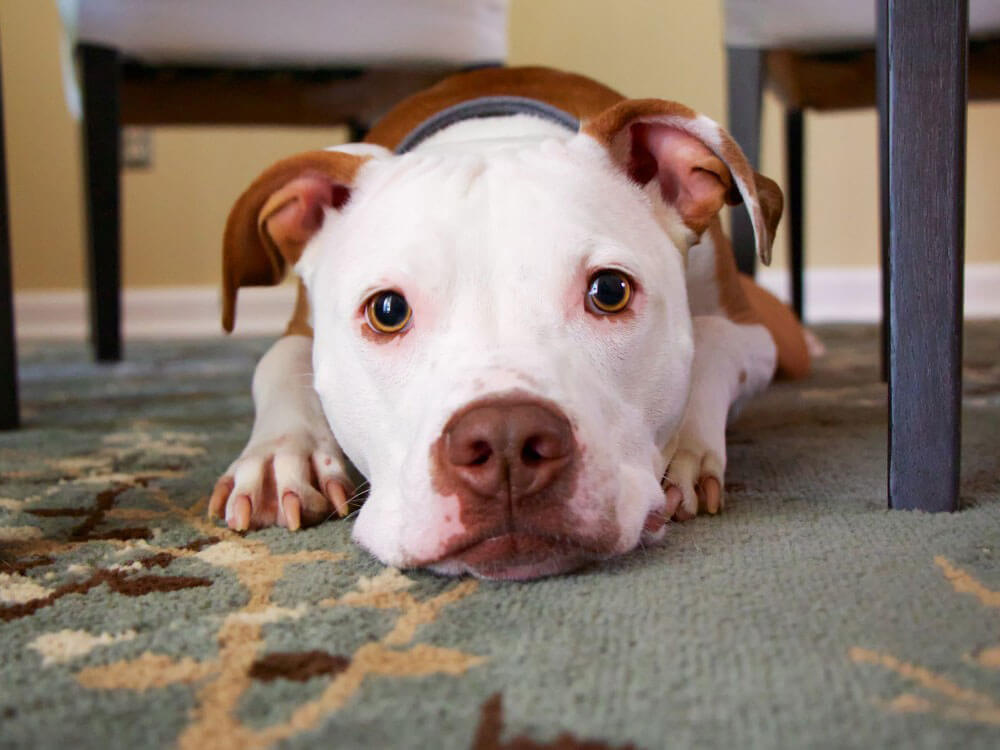 a heroic pit bull