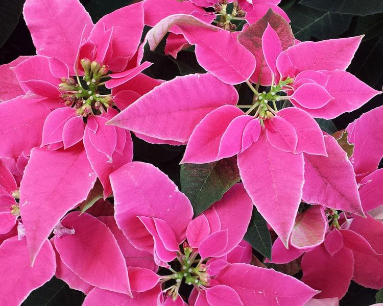 poinsettia, a poisonous flower for pets
