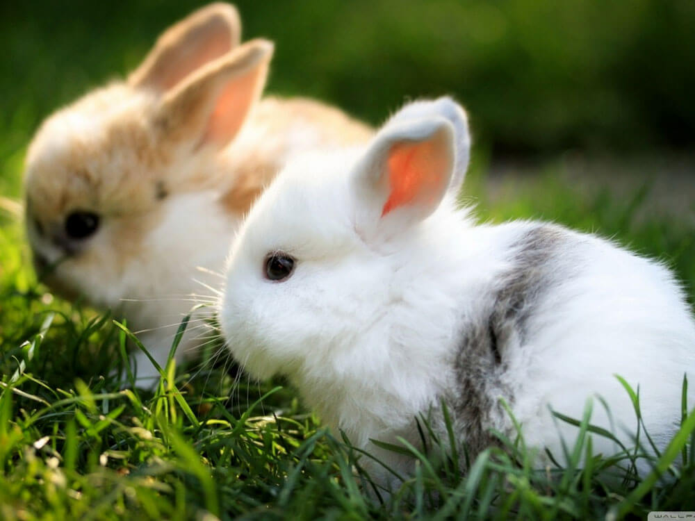 most loved rabbit breeds