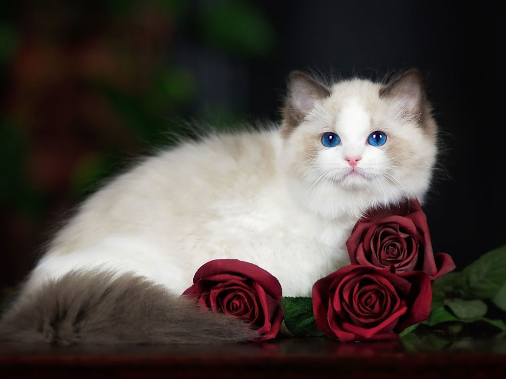 ragdoll one of The 5 Cat Breeds That Love You Best